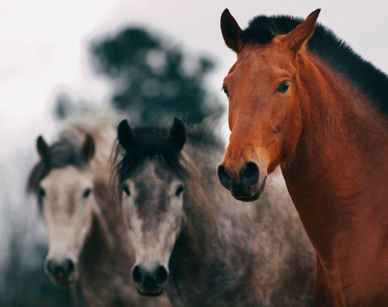 Fotografía naturaleza en Vigo, tres caballos mirando a cámara